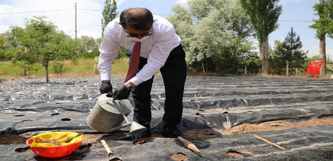 Sivas'ta Çilek Fideleri Toprakla Buluştu